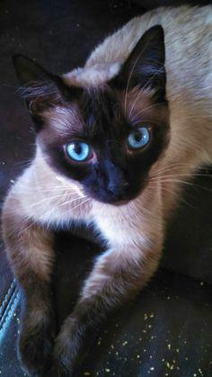 tonkinese  cat female diva