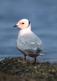 Ross's Gull (Rhodostethia rosea) - Розовая чайка. Фотограф: Kononov Sergey - Птицы, Натурлайт.ру  http://www.naturelight.ru/show_photo/11909.html
