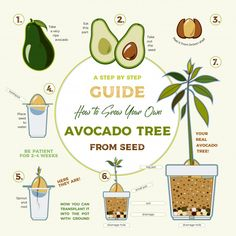 Green Simple Instruction To Grow Avocado Tree From Seed. Growing Vegetables, Growing Plants, Regrow Vegetables, Growing Tree, Fruit Garden, Garden Plants, Growing An Avocado Tree, Planting Avocado Tree, Vegetable Garden Design