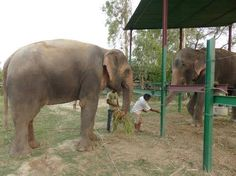 Raju and Phookali shared a meal of mangoes, bananas and biscuits after being introduced. (Wildlife SOS/Facebook)