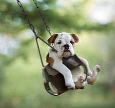 bulldog puppies, park, pet, english bulldogs, swing