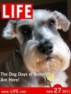 This is the exact same face my old schnauzer had… so precious! « Leise-Falyon