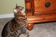 Bengal Cats, Animals, Animales, Animaux, Animal, Animais