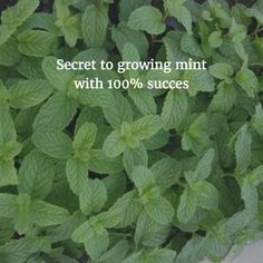 How to grow Mint from cuttings. In most of my posts/comments, I recommend people to start with plants such as mint that are very easy to grow. Mint for example, is easily available. It grows invas… Indoor Hydroponics, Hydroponic Farming, Hydroponic Growing, Aquaponics, Growing Mint, Growing Herbs, Growing Veggies, Container Gardening, Gardening Tips