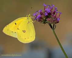 Butterfly Plants List- Butterfly Flowers and Host Plant Ideas - Top Butterfly Plants for a Successful Butterfly Garden- A Sulphur butterfly sips Sweet Nectar from - Stages Of A Butterfly, Butterfly Bush, Butterfly Photos, Monarch Butterfly, Flowers For Butterflies, Plants That Attract Butterflies, How To Attract Hummingbirds, Butterfly Garden Plants, Hummingbird Plants