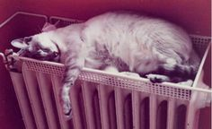 """""""This was Nicki our beautiful Siamese cat. He was such a character always having the last """"word"""".When my eldest son passed away he was such a comfort and would sleep on my nightstand and watch over me.Eventually he ventured on to my pillow and sleep there . He was such a good """"listener"""" and strangely didn´t answer back but would just look at me as if he understood my sorrow.We had him 13yrs.I still miss him.Animals are true pals.""""  Liane from Germany 5 june, 2012"""