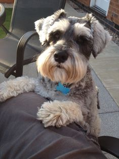Too cute for his own good Schnauzer Art, Mini Schnauzer Puppies, Miniature Schnauzer, Cute Dogs Breeds, Dog Breeds, Boxer Dogs, Dachshund, Doggies, Horses And Dogs