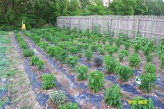 Using black plastic in vegetable gardens holds in moisture, heats the ground earlier, stops weeds from creating a hassle and is low cost for the time it saves in gardening.