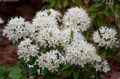Japaninpursu, Rhododendron diversipilosum - Japaninpursu Rhododendron diversipilosum pursu metsikkökasvi puuvartinen valkoinen kukinto kukat monivuotinen kasvi