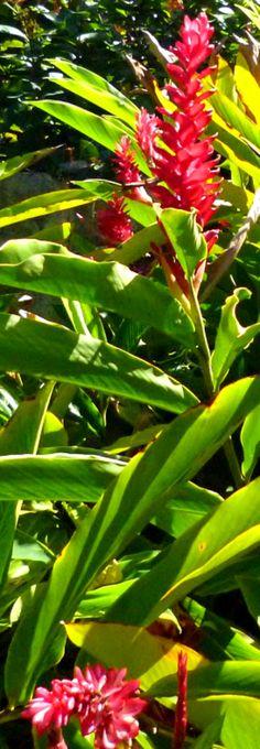 #caribbean #caribbeanlifestyle #tropicalfoliage gingerlilybush #gingerlily