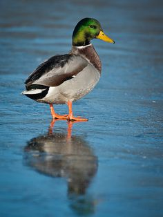 If I had a lake, I'd have a Mallard duck! Love mallard ducks!