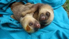 When these sloths took their sweet, sweet cuddling time. | The 31 Most Important Animal Cuddles Of 2013