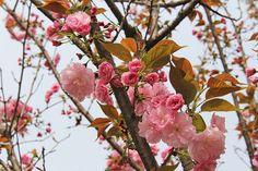 Kwiat Wiśni, Piwonia, Marca, Wiosna, Kwiat, Kwitnący