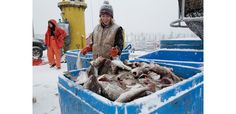 Emma Anderson sorts the codfish into containers after unloading it from the fishing boat.
