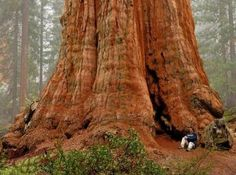 The General Sherman Tree - largest living thing on Earth, Sequoia National Park