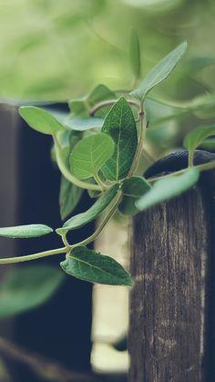 Nature Plant Rattan Climbing Fence iPhone 6 wallpaper