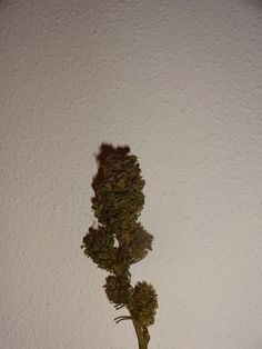 01 november, the bud has dried.. time for a smoke!