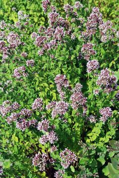Oregano Pflanze