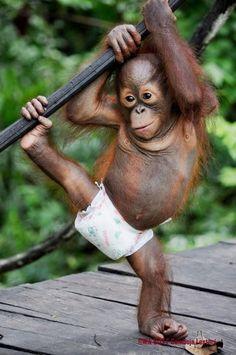 Yetim kalmış Bebek Orangutan