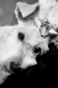 Kodiak Bear tired after opening his Christmas presents -miniature schnauzer
