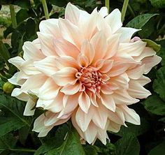 Dahlia Café au Lait...I've never seen this gorgeous shade of dahlia.  It's a hard creamy color to describe, but I certainly do love it!!!