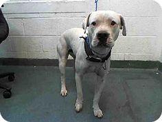 ART...Miami, FL - American Bulldog. Meet ARTHAS, a dog for adoption. http://www.adoptapet.com/pet/12194969-miami-florida-american-bulldog