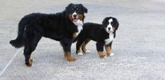 Bernese Mountain Dog and puppy. ....I have always wanted one of these magnificent dogs......one day :)