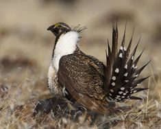 Greater Sage Grouse (via Wikipedia)
