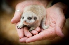 We wanna hold a baby meerkat!
