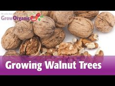 How to Plant a Walnut Tree (with Pictures) - wikiHow