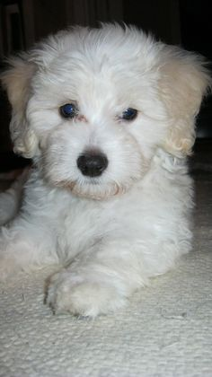 Bolognese Puppy Dog I want hug. Bolognese Puppies, Bichon Bolognese, Dog Love, Puppy Love, Cute Puppies, Dogs And Puppies, Maltipoo, Bichon Frise, White Dogs