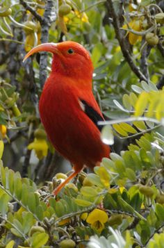 the third most common native land bird in the Hawaiian Islands.a highly recognizable symbol of Hawaiʻi Exotic Birds, Colorful Birds, Horse Pictures, Animal Pictures, Hawaiian Goddess, Bird Identification, Most Beautiful Birds, Bird Gif, All Birds