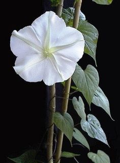 The Moonflower must be among the most beautiful of flowers as well as one with a very romantic name.