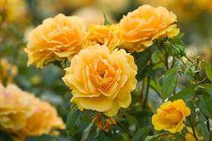 'Golden Beauty' (2001) Floribunda rose | Clive Nichols