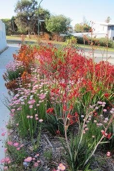 "How's this for a verge! Australian habitat garden (""Gaia's Garden"" at City Beach, WA) Australian Garden Design, Australian Native Garden, Australian Native Flowers, Australian Plants, Australian Beach, Micro Garden, Dry Garden, Bush Garden, Front Gardens"