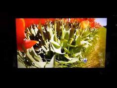 Home - Texas Tulips
