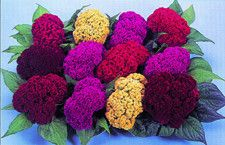 1,000 Celosia Colours Mix Seeds