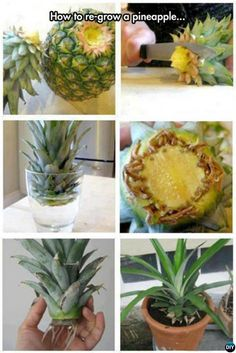 Garden Landscaping Wall Tips to Regrow Pineapple From Top Instructions.Garden Landscaping Wall Tips to Regrow Pineapple From Top Instructions Indoor Vegetable Gardening, Veg Garden, Fruit Garden, Edible Garden, Container Gardening, Gardening Tips, Organic Gardening, Gardening Direct, Potted Garden