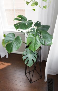 This post shares my monstera deliciosa care guide. Growing monstera deliciosa indoors, or the swiss cheese plant, makes a beautiful addition to your home! Monstera Deliciosa, House Plants Decor, Plant Decor, Faux Philodendron, Swiss Cheese Plant, Pothos Plant, Decoration Plante, Mosquito Repelling Plants, Alpine Plants