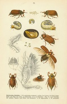 """mark-is-fab: """" Vintage Scarab Beetle Life Cycle Illustration, Circa 1908 Volume II, plate 75 of Fauna Germanica - Die Käfer des deutschen Reiches - which translates to Beetles of the German Empire,. Aquatic Insects, Street Art, Technical Illustration, Bug Art, Dictionary Art, Art Nouveau, Fauna, Illustrations, Antique Prints"""