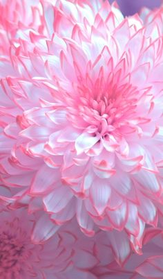 Flowers Photography Dahlia Pink Ideas For 2019 Pastel Flowers, Exotic Flowers, Amazing Flowers, Pretty Flowers, Pastel Pink, Dahlia Flowers, Light Pink Flowers, Chrysanthemum Flower, Roses