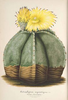 Astrophytum myriostigma genus name translates from Greek as 'star plant', which refers to star shape seen when looking at the cactus from above. The cactus is also commonly called Bishop's cap because it resembles bishop's mitre.  Drawing from L' Illustration horticole, vol. 8: t. 292 (1861).