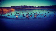 On instagram by krisek406 #landscape #contratahotel (o) http://ift.tt/1mi1FRk #duck#ducks#Animal#lake#waret#Forest#Sky#bluesky#Winter#december_lovers#gołdap#tężnie#mazury#mazurycudnatury#Polska#Poland#kaczki#natura#nature#jezioro#widok#grudzień