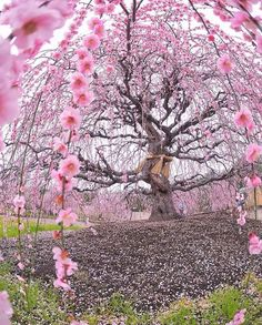 200 years old Ume plum tree at Suzuka Forest Garden Japan Fast Crazy Nature Deals. Flor Magnolia, Cherry Blossom Season, Cherry Blossoms, Plum Tree, Unique Trees, Forest Garden, Spring Is Here, Jolie Photo, Parcs