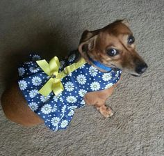 All dressed up and nowhere to go!! (via I love Dachshunds)