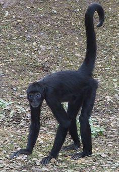 A Colombian Black Spider Monkey at Fota Wildlife Park