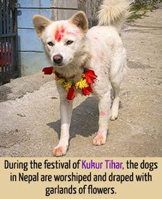 Information about Kukur Tihar