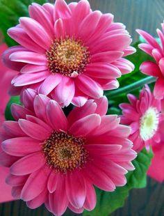 Pink gerbera daisy image via Colorfull at www.Facebook.com/colorfullss