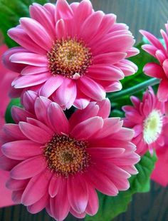 Pink gerbera daisy image via Colorfull at www.Facebook.com/colorfullss