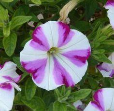 Petunia ColorWorks™ Homare